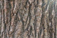 Расшива Populus Nigra с мхом и лишайником Стоковая Фотография RF