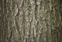 Расшива robur Quercus стоковые фотографии rf
