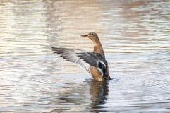Радостная дикая утка Стоковое Изображение RF