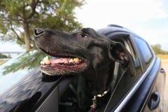 Радостная собака с возглавляет вне окно автомобиля Стоковая Фотография