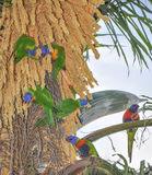 Радуга Lorikeets: Тропический обед Стоковые Изображения RF