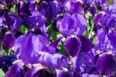 Радужка в цветени Стоковое Фото