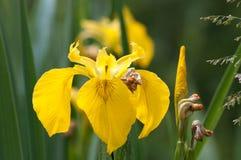 Радужка желтого флага Стоковое Фото