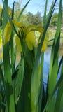 Радужка Луизианы одичалая желтая Стоковые Фото