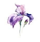 Радужка цветет изолированная акварель бесплатная иллюстрация