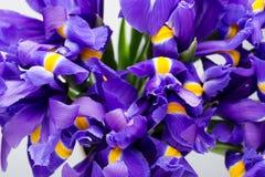 Радужка цветет предпосылка, patern весны флористическое Стоковые Фотографии RF
