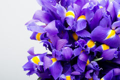 Радужка цветет предпосылка, patern весны флористическое Стоковое фото RF