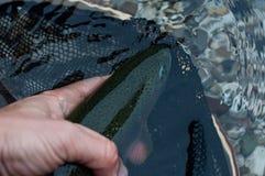 Радужная форель выпущенная в воде стоковое изображение rf