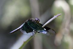 Радужное Dargonfly Стоковое Изображение RF