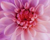 Радужные розовые цветеня цветка георгина Макрос розов-красный центр closeup красивейший георгин Для конструкции Стоковое Изображение RF