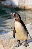 Реабилитация пингвина Стоковое Изображение RF