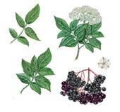 Реалистическая иллюстрация elderberry Стоковые Фотографии RF