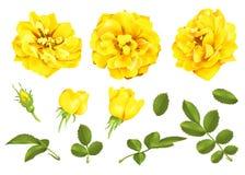Реалистический комплект розы желтого цвета вектора розы 3d бесплатная иллюстрация