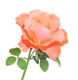 реалистический розовый вектор Стоковые Изображения