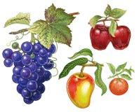 Реалистический чертеж виноградины, яблока, мандарина иллюстрация штока
