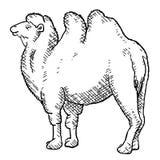 реалистический bactrian верблюд стоковое изображение