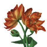 Реалистическое изображение нарисованных вручную тюльпанов стоковое изображение