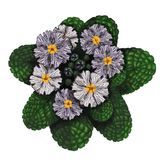 Реалистическое изображение нарисованных вручную цветков первоцвета стоковые фото