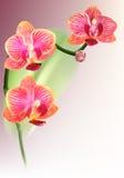 реалистическое орхидеи цветка пурпуровое Стоковая Фотография