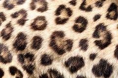 Реальная предпосылка в реальном маштабе времени текстуры кожи шерсти леопарда Стоковое Изображение
