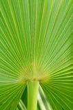 Реальная тропическая предпосылка лист ладони, текстура, листва джунглей Зеленые листья в солнечном свете остров тропический Стоковые Фотографии RF