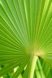 Реальная тропическая предпосылка лист ладони, текстура, листва джунглей Зеленые листья в солнечном свете остров тропический Стоковое фото RF