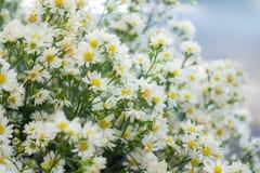 Реальные белые цветки с ветвями, листьями для предпосылки свадьбы декоративной Макрос белой текстуры лепестков Мягкое мечтательно стоковая фотография