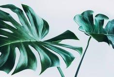 Реальные листья monstera украшая для дизайна состава Тропический, Стоковое фото RF