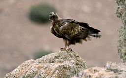 реальный орел наблюдает своей территорией Стоковая Фотография RF