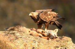 реальный орел рядом с остатками мертвого животного Стоковые Фотографии RF