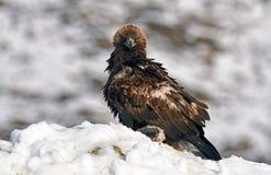 Реальный орел с добычей в зиме Стоковые Фото