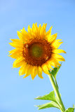 Реальный солнцецвет Стоковое фото RF