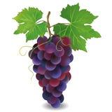 Реалистическая голубая виноградина над белизной бесплатная иллюстрация