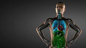 Реалистическая человеческая развертка рентгенографирования требух бесплатная иллюстрация