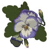Реалистический фиолетовый вектор цветка Pansy Стоковые Изображения RF
