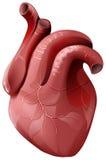 Реалистическое человеческое сердце Здоровый внутренний орган иллюстрация вектора