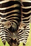 Реальная кожа зебры Стоковая Фотография RF