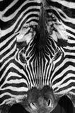 Реальная кожа зебры Стоковые Фотографии RF
