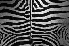 Реальная кожа зебры Стоковое Изображение
