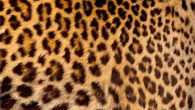 Реальная кожа ягуара Стоковые Изображения RF