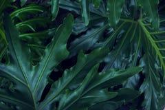 Реальная тропическая предпосылка листьев, листва джунглей Стоковая Фотография