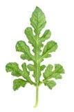 реальные зеленые лист арбуза изолированные на белизне Стоковая Фотография