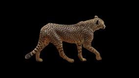 Реальный гепард съемки медленно идя при плавно закрепленная петлей альфа видеоматериал