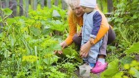 Ребенк и женщина проверяя урожай огурцов видеоматериал