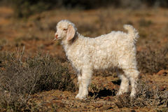 Ребенк козы Ангоры Стоковые Фото