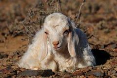 Ребенк козы Ангоры Стоковая Фотография