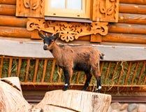 Ребенк козы в зоопарке Стоковые Фотографии RF