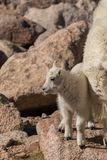 Ребенк козы горы в утесах Стоковое Фото