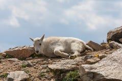 Ребенк козы горы стоковые фотографии rf