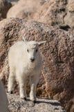 Ребенк козы горы на утесе Стоковая Фотография RF